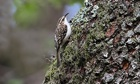 Country Diary: Treecreeper (Certhia familiaris) on a tree trunk in woodland