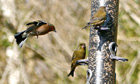 Country Diary: Greenfinch and chaffinch on woodland feeder