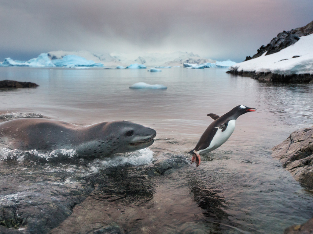 A leopard seal chases a Gentoo penguin out of the freezing waters