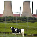 A cow grazes on a field next to Sellafield nuclear plant