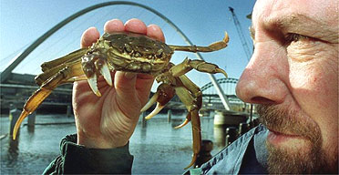 A Chinese mitten crab