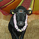 Hindus from around Britain are to form a human chain to prevent the slaughter of Shambo the Bull, of the Skandavale temple in Wales.