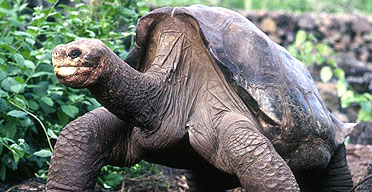 The giant Galapagos tortoise known as Lonesome George