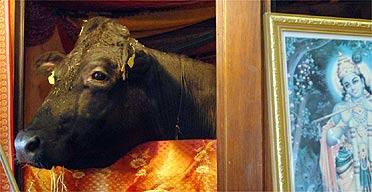 Shambo the bull