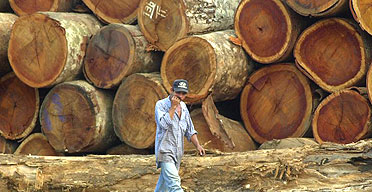 Mahogany logs extracted illegally from the Amazon basin in Brazil