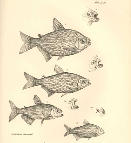 Fish plate from Darwin's The Zoology of the Voyage of HMS Beagle