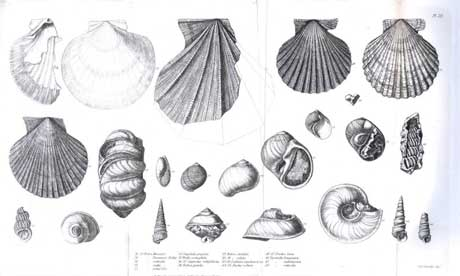 Shells illustration from Darwin's The Zoology of the Voyage of HMS Beagle