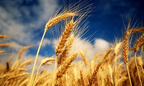 Ожидается дефицит зерна