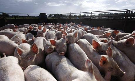 A litter of pigs