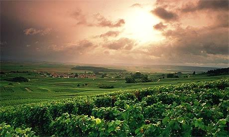 Vineyards in France's Champagne region