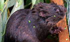The water vole is the UK s fastest declining mammal