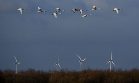 Whooper swans pass wind turbines
