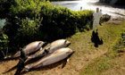 Several dead dolphins on the bank of the Percuil river, near Falmouth,