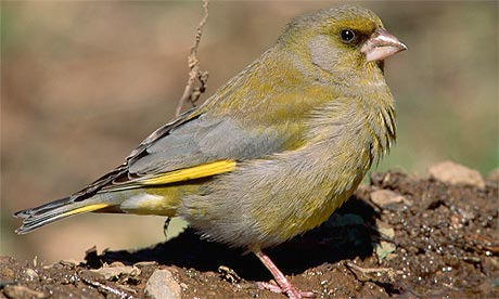 A greenfinch