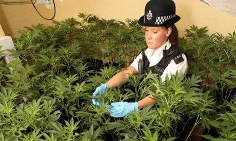 cannabis wallpaper. suspected cannabis factory