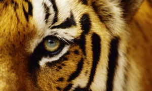 The number of Indian tigers has dwindled