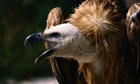 Griffon vultures can weigh as much as 13kg and have a wingspan of up to 2.5 metres