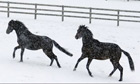 Horses in the early morning snow
