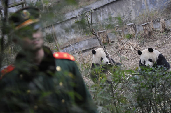 A People Libertys Army (PLA) soldier guards the two giant pandas at the Bifeng Gorge Base of the China Conservation and Research Centre for the Giant Panda in Yaan