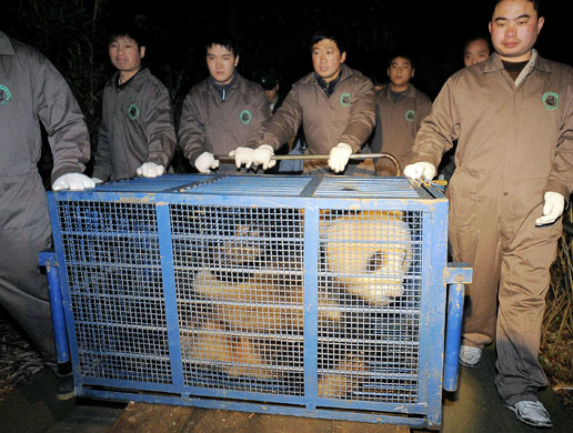 Workers transport giant panda Tuan Tuan in a cage