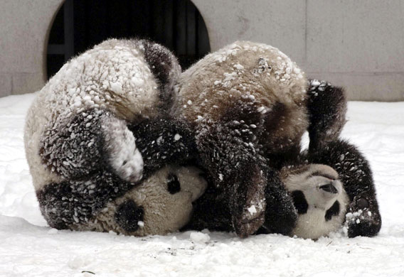 Giant pandas Tuan Tuan and Yuan Yuan play in a breeding base in Yaan, south-west Chinas Sichuan Province in February 2006