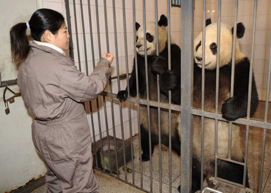 Taiwanese breeder You Xueyin feeds giant pandas at a the base in Yaan