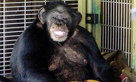 Travis the chimpanzee