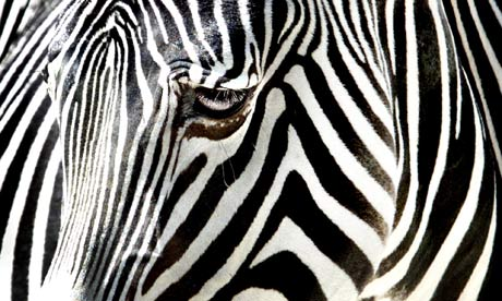 A zebra at the Frankfurt zoo, Germany. Photograph: Frank Rumpenhorst/AP