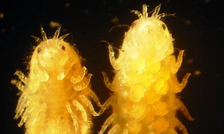Limnoria quadripunctata