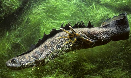 10 rare pond species: The great crested newt