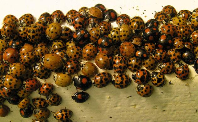 Ladybird: Harlequin ladybirds