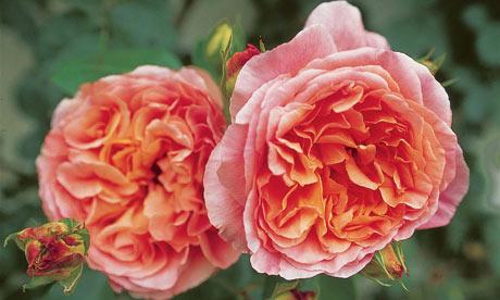 Rosa 'Papi Delbard'