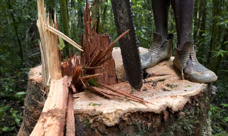 A logger stands on a trunk after cutting down a tree near Morere,