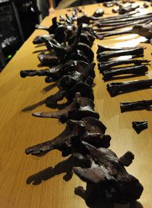 Bones of dinosaur, aardonyx celestae