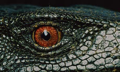 IUCN Red List Threatened Species 2009: Panay Monitor Lizard.