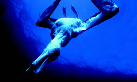A wandering albatross, caught on a longline hook is dragged under water in this undated file photo