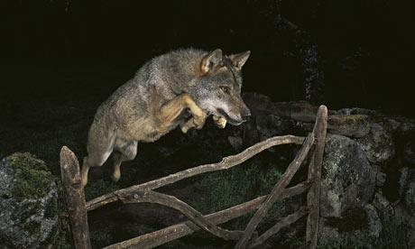 Storybook Wolf by José Luis Rodriguez