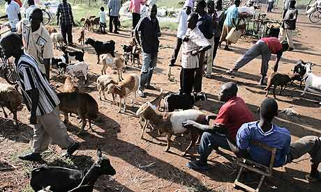 Buying and selling goats at Katine market, in north-east Uganda