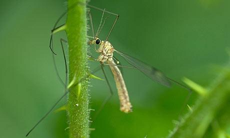 A cranefly, or daddy-long-legs