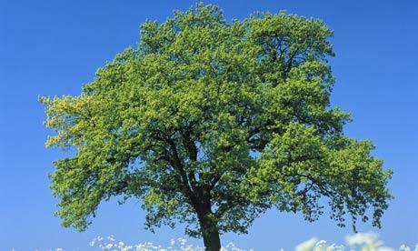 Oak tree in blossoming chervil meadow