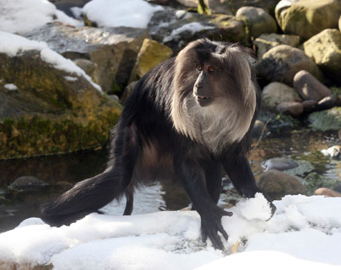latest images of snow monkey wikipedia