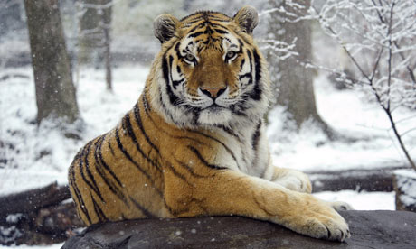 Siberian tiger Sasha sits in the snow at the Bronx Zoo