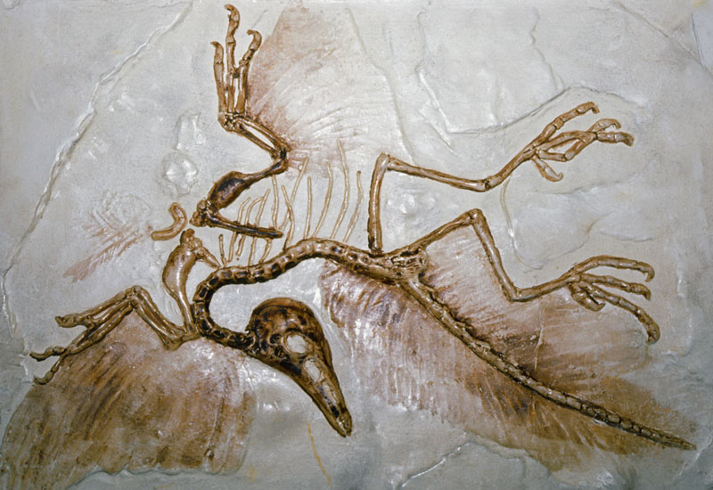 an analysis of archaeopteryx fossils during the jurassic period Archaeopteryx - considered earth  original 'early bird' really could fly thursday,  birds arose during the jurassic period from small feathered bipedal dinosaurs.