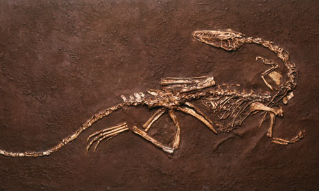 Fossil of Coelophysis