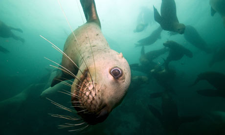 A sealion shown in Nature's Great Events