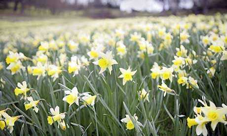 Daffodils. A new assessment of Britain's wildlife has found that recent winters have been ending earlier than ever. Photograph: Guardian