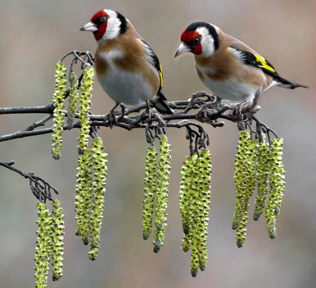 external image Goldfinches-on-catkins-by-001.jpg