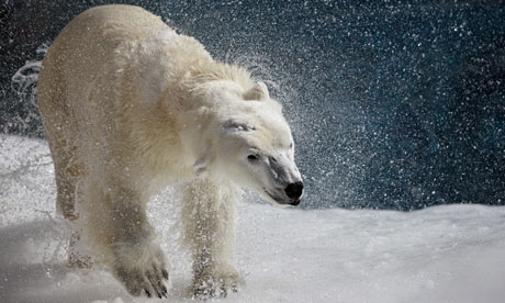 A polar bear shakes his body to remove water
