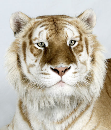 Bengal tigers: Brahman, one of only 30 Golden Tabby Bengal Tigers left in world