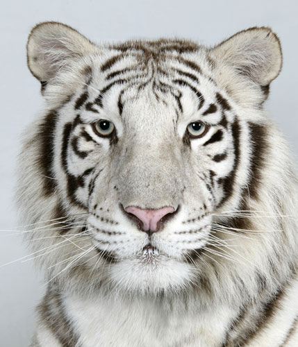 Bengal tigers: Loka, a 2 year old female, Royal White Bengal Tiger